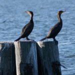 cormorantsperchingonpilings_orig